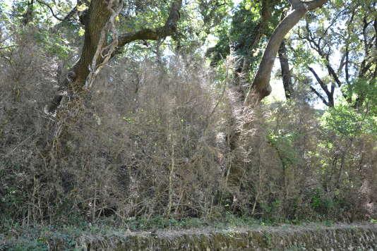 Dégât de pyrale sur un sous-étage de buis en forêt dans la Drôme.