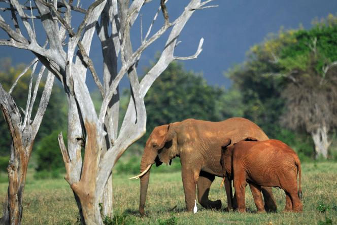 Les populations d'éléphantsd'Afrique déclinent en raison de la perte et de la dégradation de leurs habitats, et du braconnage pour leur ivoire.