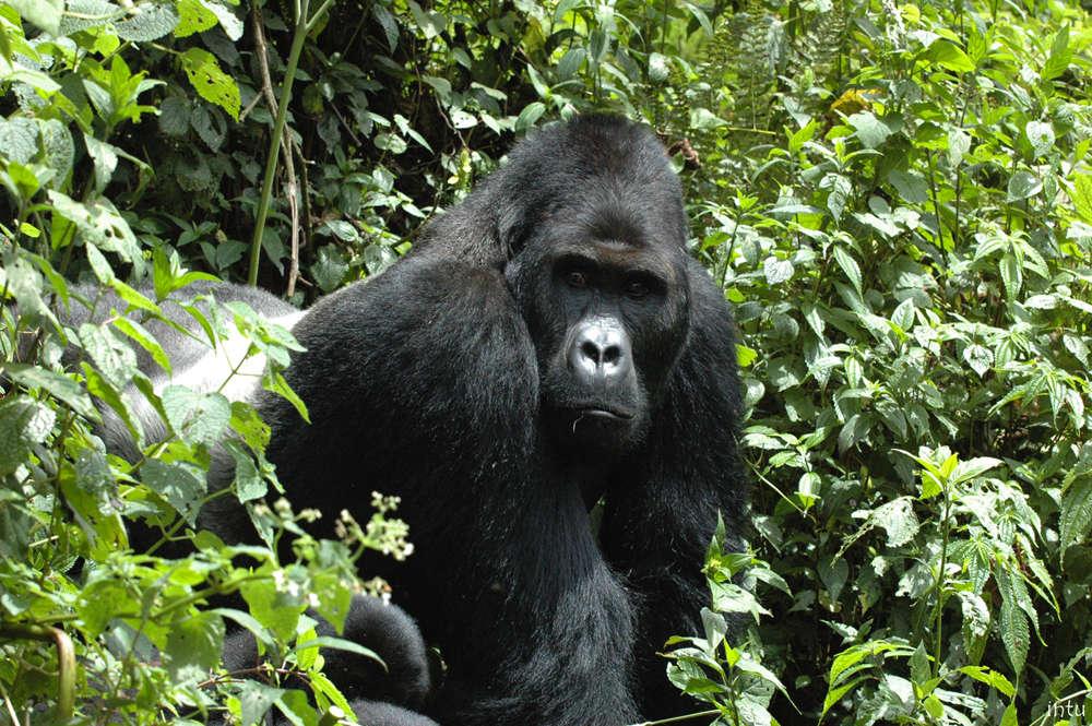 Auparavant « en danger», le gorille de l'Est (Gorilla beringei), plus grand primate du monde, est aujourd'hui considéré « en danger critique».Ce changement de situation est dû à un déclin de population de plus de 70 % en vingt ans. On estime aujourd'hui sa population à moins de 5 000 individus.Quatre des six espèces de grands singes sont maintenant classées en «danger critique», à un pas de l'extinction.