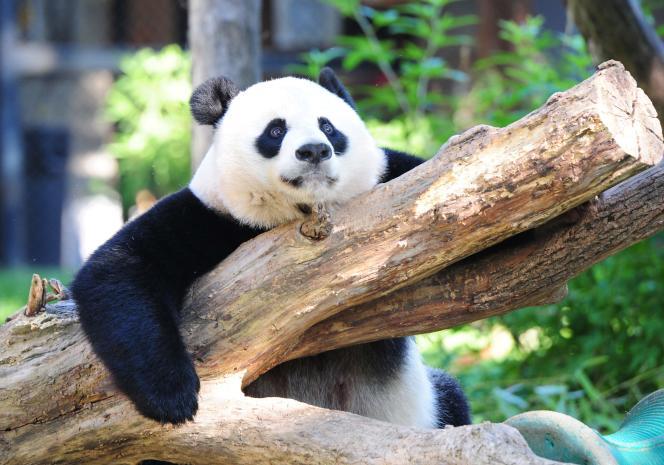 Le panda géant n'est plus«en danger», selon les rapports de l'Union internationale pour la conservation de la nature, qui compte aujourd'hui environ 2060 individus.