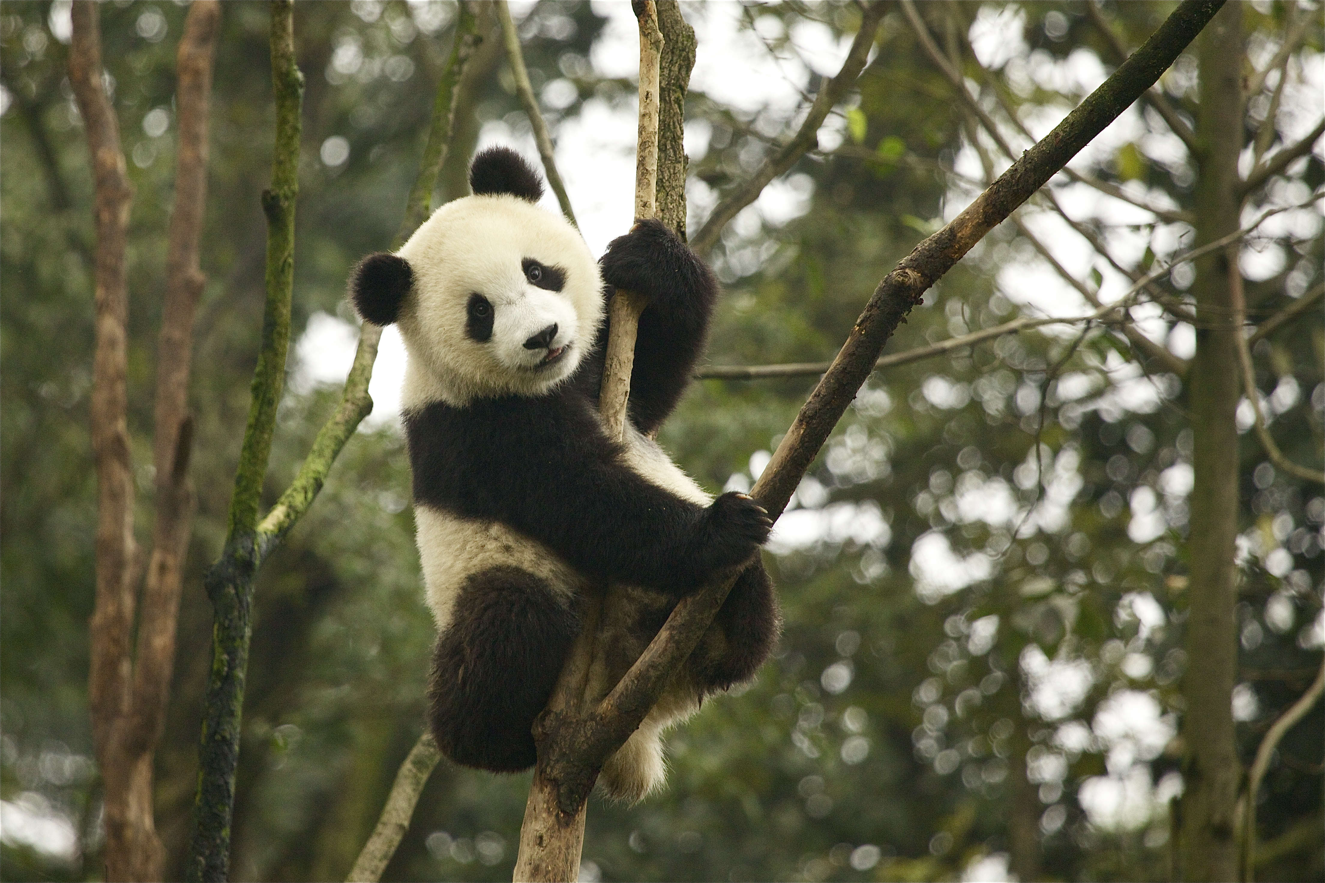 reserves for the protection of the giant panda essay Giant panda no longer  including helping to establish an integrated network of giant panda reserves and wildlife corridors to connect isolated panda populations.