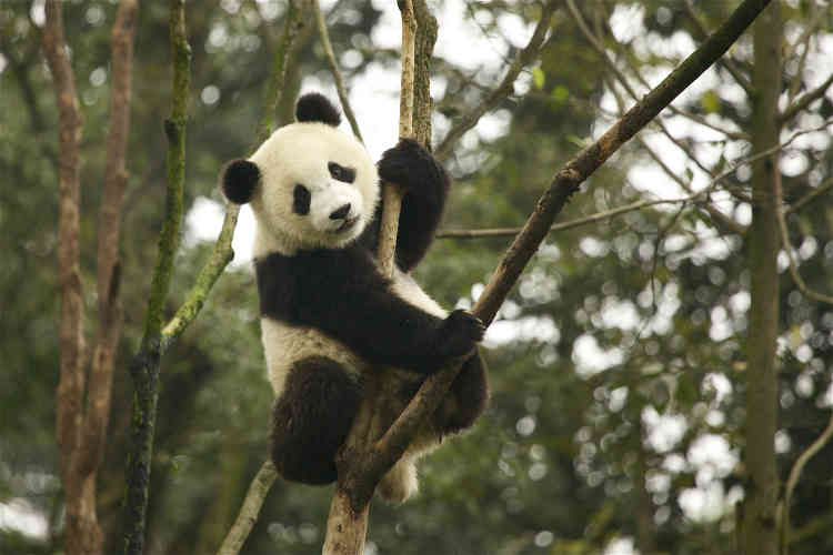 Bonne nouvelle pour le panda géant : considéré comme espèce« en danger» depuis plusieurs décennies, cet animal est aujourd'hui passé au statut de« vulnérable». Selon le rapport de l'UICN, les efforts de conservation de la Chine ont porté leurs fruits et on compte aujourd'hui environ 2 060 pandas. La création de réserves naturelles, la sensibilisation des populations locales, ou encore les patrouilles antibraconnage ont permis d'arriver à ces résultats positifs. La menace qui pèse sur son habitat est cependant toujours présente.
