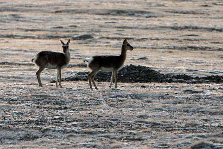 Au contraire, l'antilope du Tibet (Pantholops hodgsonii) a quitté la catégorie des espèces« en danger» d'extinction grâce à une augmentation de 60 % de sa population,même si elle reste« quasi menacée», selon la liste rouge. Victime du braconnage dans les années 1980-1990, cette espèce est aujourd'hui rigoureusement protégée et les mesures de conservation montrent des résultats positifs.