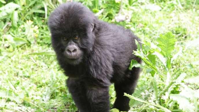 Un gorille oriental, parc national des Virunga, République démocratique du Congo.