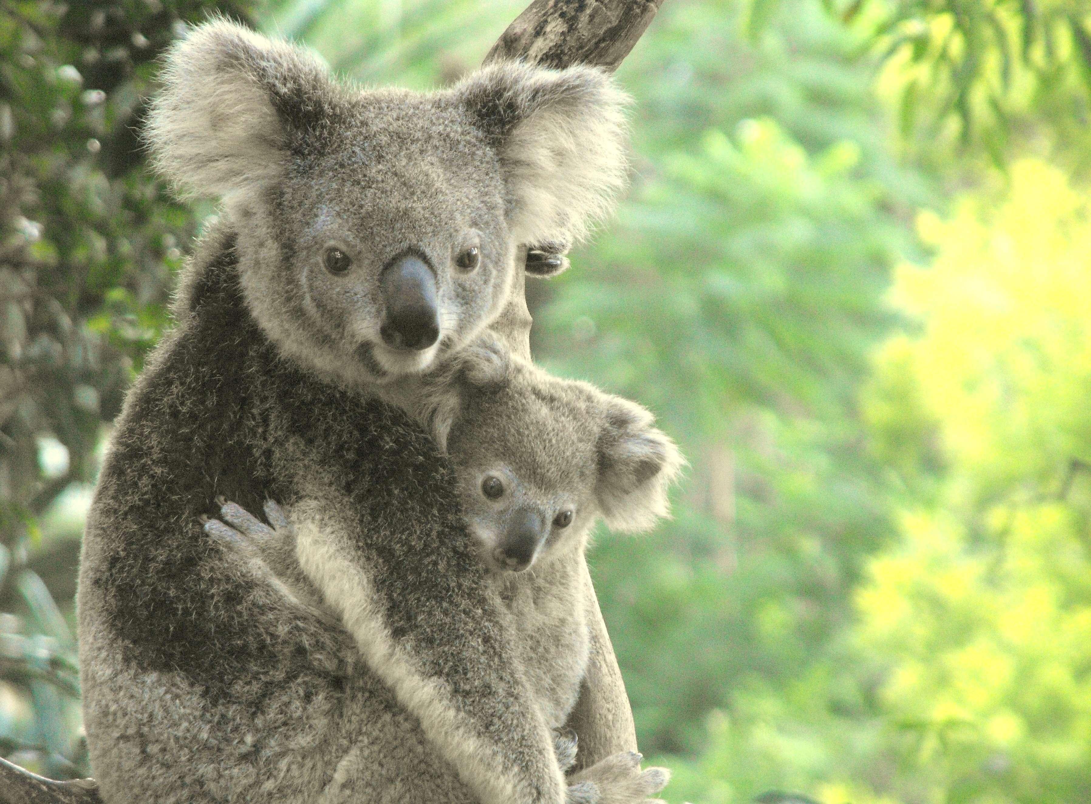 Super Pourquoi le panda géant n'est plus une espèce « en danger » QJ86