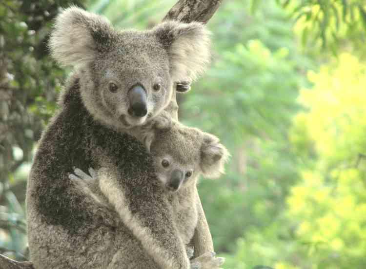 Le statut du koala (Phascolarctos cinereus) a directement sauté deux paliers de la liste rouge en passant du stade de « préoccupation mineure» à celui de « vulnérable». Cette espèce est menacée par la destruction de son habitat, les feux de forêt et les maladies. Et, malgré l'engouement public pour l'animal, une enquête récente a prouvé que les efforts de conservation étaient, pour l'instant, inefficaces.