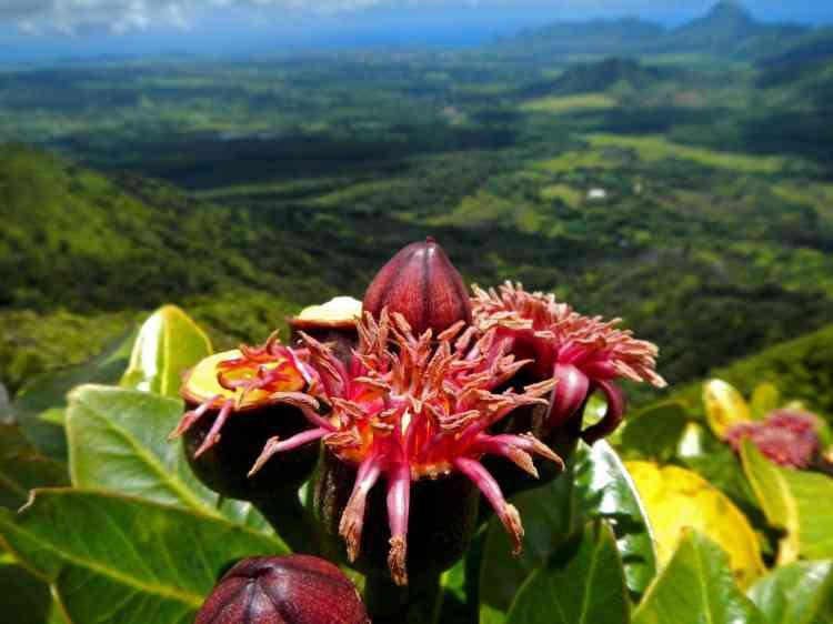 Avec un groupe de travail spécialisé dans la flore de l'archipel d'Hawaii, l'Union internationale pour la conservation de la nature s'est penchée cette année sur le cas des espèces endémiques hawaïennes.L'UICN rapporte que 87 % de ces espèces sont menacées d'extinction, touchées par les espèces invasives. C'est le cas del'Ohe kiko'ola (Polyscias waimeae), endémique de l'île de Kauai.