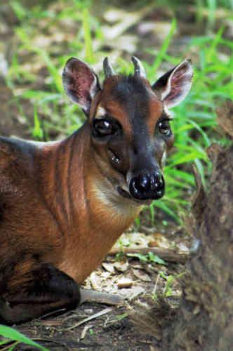 Comme le zèbre des plaines, le céphalope à bande dorsale (Cephalophus dorsalis)est également passé du statut de « préoccupation mineure» à celui de « quasi menacé». Cette antilope africaine a pourtant vu sa population augmenter dans les zones protégées, mais le braconnage et la perte d'habitat ont empêché l'augmentation globale de l'espèce.