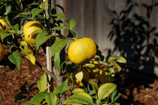 Le yuzu demeure exceptionnel à l'état brut, pour profiter de son parfum de mandarine sauvage.
