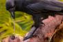 Une corneille d'Hawaï fouille une souche pour en extraire des insectes.
