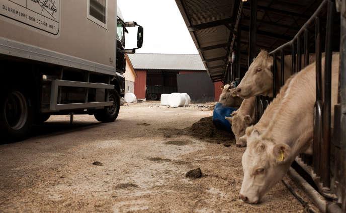A Karlstad, Suede. L'abattoir mobile Etiskt Kott achète la viande aux fermiers. Ici à la ferme de Johansson, 90 bovins seront vendus. L'abattoir et ses quatre vehicules stationnent dans la ferme, à proximité des animaux et de l'éleveur. Un bureau, un laboratoire de transformation, et deux camions frigoriques resteront prêt d'une semaine dans la ferme.