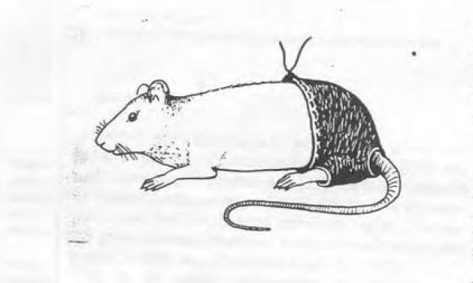 Les pantalons pour rats conçu par l'urologue égyptien Ahmed Shafik.