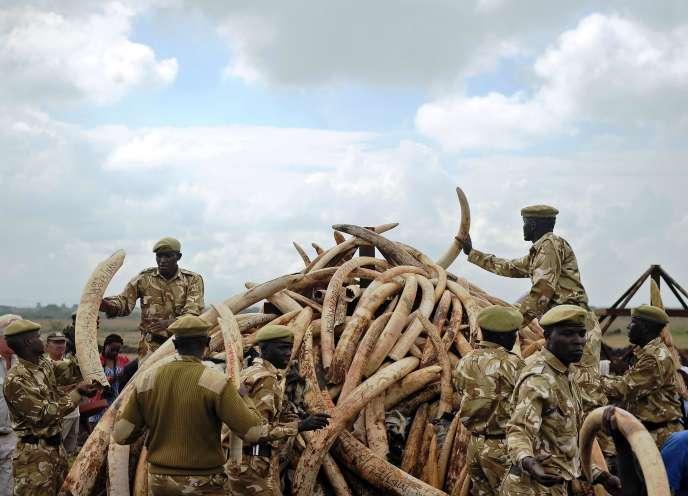 Les rangers du Kenya Wildlife Services (KWS) entassent des défensesd'éléphant issues du braconnage pour les brûler, dans le parc national de Nairobi au Kénya, le 20 avril 2016.