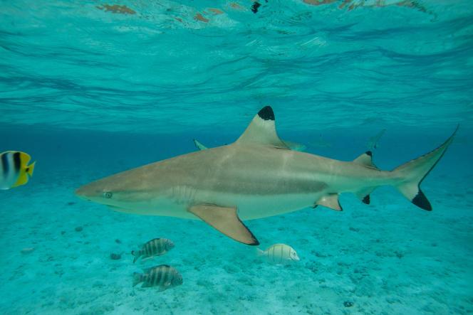 Un requin dans le lagon de Bora Bora, le 3 décembre 2015.