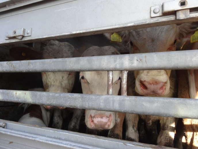Extrait de l'enquête vidéo de l'association CIWF sur le transport d'animaux vivants vers la Turquie.