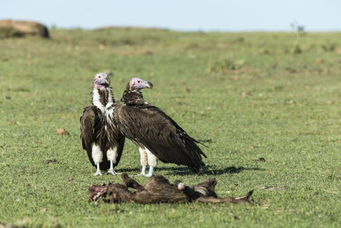 Vautours oricous, près d'une carcasse animale,dans la réserve du Masai Mara,située dans le sud-ouest du Kenya,en septembre 2014.
