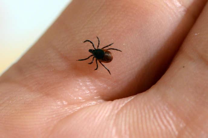 La maladie de Lyme est transmise par la tique, un acarien géant qui se nourrit de sang.