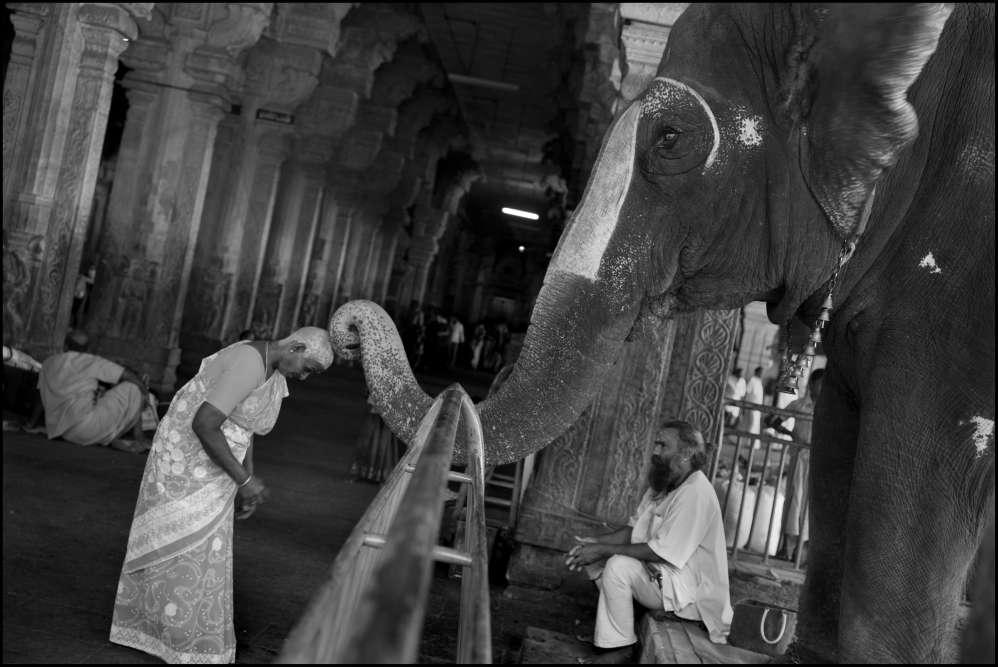 « A Trichy, en Inde, un éléphant bénit les pèlerins avec sa trompe après que son maître a reçu une pièce de monnaie. La femme a offert ses cheveux à une déesse du temple de Ranganatha, sa tête est enduite de pâte de curcuma pour la protéger du soleil».