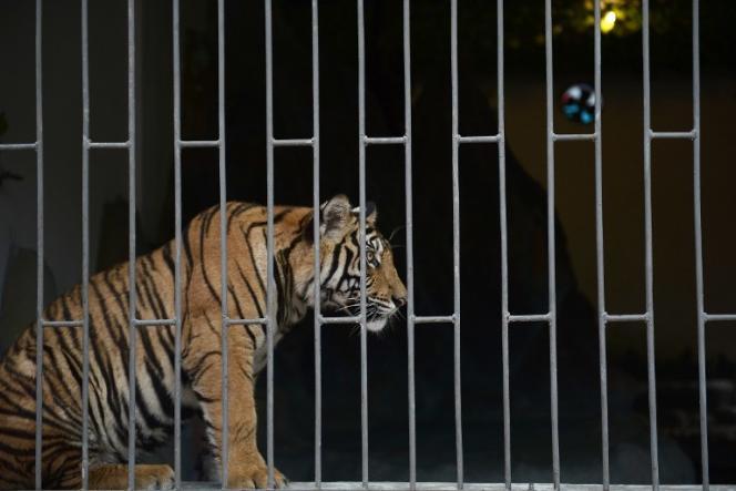 Un tigre dans une cage, à Ton Pheung, au Laos, en avril 2015.