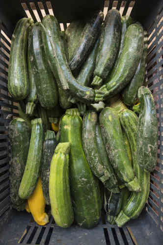 Des courgettes produites à la ferme, sans désherbant ni pesticide, tout est certifié bio.