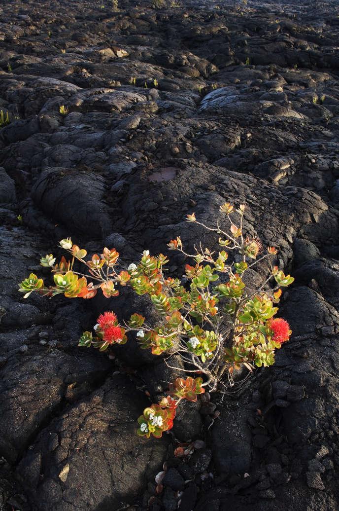 A Hawaï, l'ohia est victime d'un champignon propagé par des coléoptères.