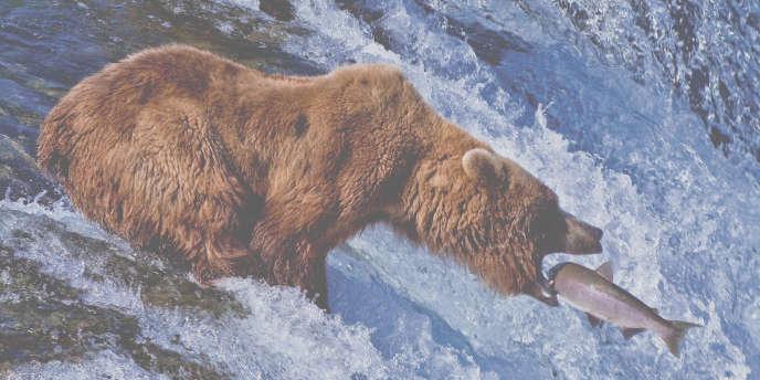 Ours brun qui pêche.