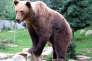 Un ours brun dans un parc animalier des Pyrénées
