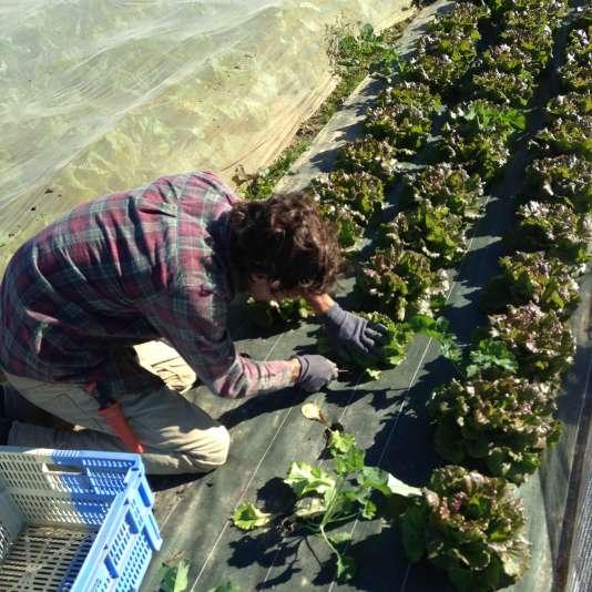 Muni de son couteau, Xavier coupe délicatement le pied de chaque salade, laissant de côté celles qui ressemblent à des petits arbustes.