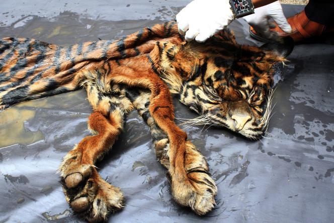 Peau de tigre saisie en Indonésie, 2016