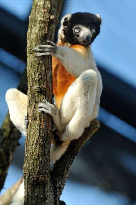 Le propithèque couronné est le plus élégant des lémuriens. Une espèce très menacée, comme les huit espèces vivant en groupe à Vincennes, l'une des spécificités mondiales du zoo parisien depuis vingt ans, sous la houlette de la primatologue Delphine Roullet qui a connula première naissance en captivité en 1995.