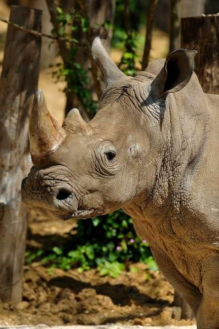 Wami, l'un des deux rhinocéros blancs du zoo. Le plus gros des mammifères terrestres appartient à une espèce quasi menacée. Il cohabite dans son enclos avec les zèbres de Grévy.