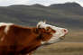 Vache dasn le caucase en 2016.