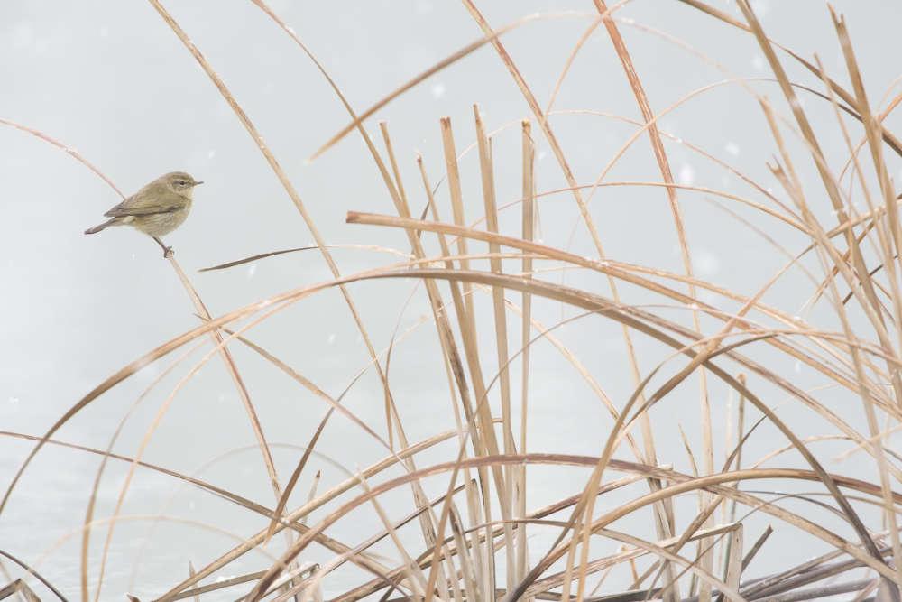 Premier prix jeune 10 ans – Carlos Perez Naval (Espagne). Utilisant la voiture familiale comme affût, Carlos scrutait la roselière à la recherche d'oiseaux migrateurs dans la zone humide de Lechago, proche de sa maison en Espagne. Détectant un mouvement, Carlos suivit un petit oiseau qui voletait entre les tiges de la roselière. Il apparut enfin ; c'était un pouillot véloce. Alors que la lumière changeait, l'oiseau s'arrêta une seconde à la limite des roseaux.