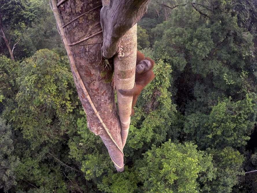 Grand Prix – Tim Laman (Etats-Unis).Un jeune orang-outan mâle, à trente mètres au-dessus de la forêt pluviale du parc national de Gunung Palung, à l'ouest de Kalimantan, l'un des rares bastions de cette espèce à Bornéo. Le photographe a passé trois jours à monter le long du tronc pour placer plusieurs appareils GoPro qu'il pouvait commander à distance.