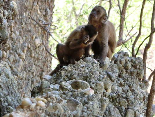 Un jeune singe capucin brésilien utilise un fragment de pierre comme marteau pour produire de la poussière de quartz qu'il léchera.