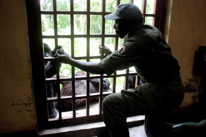 Un ranger prend soin d'un bébé gorille orphlin au centre Senkwekwe, dans le parc des Virunga.