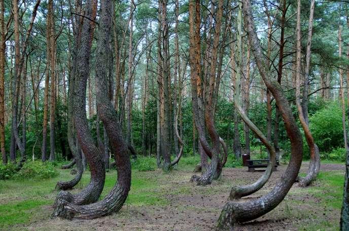 Pins «tordus» dans une forêt de Poméranie occidentale, en Pologne.