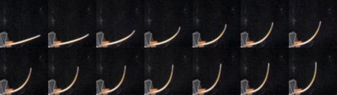 Succession d'images montrant le redressement à la verticale d'une tige de blé au cours du temps.