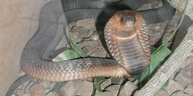 comment le serpent a perdu ses pattes. Black Bedroom Furniture Sets. Home Design Ideas