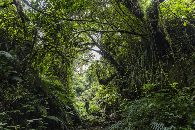 Dans le parc des Virunga, République démocratique du Congo, en août 2013.