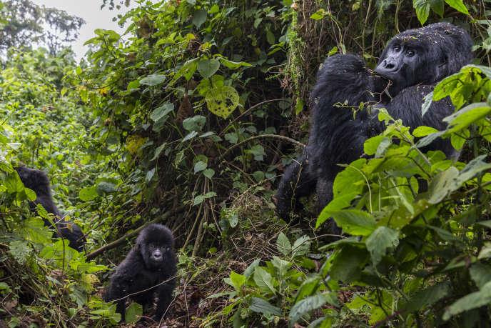 Des gorilles de montagne dans le parc des Virunga, République démocratique du Congo, en août 2013.