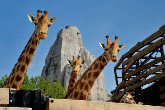 Des girafes au Parc zoologique de Paris, au bois de Vincennes.
