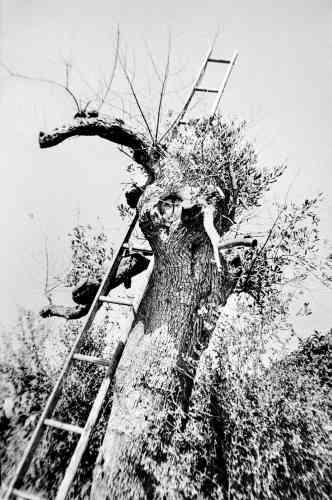 Chaque semaine, les oléiculteurs élaguent les parties desséchées des arbres dans l'espoir de leur redonner de la vigueur. Une mesure qui, selon des experts, rendrait les oliviers encore plus vulnérables.