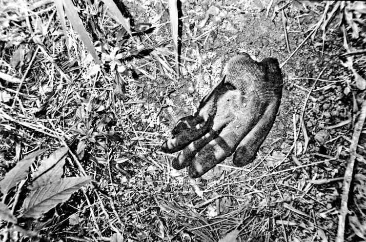 Le sol desséché d'une oliveraie morte.