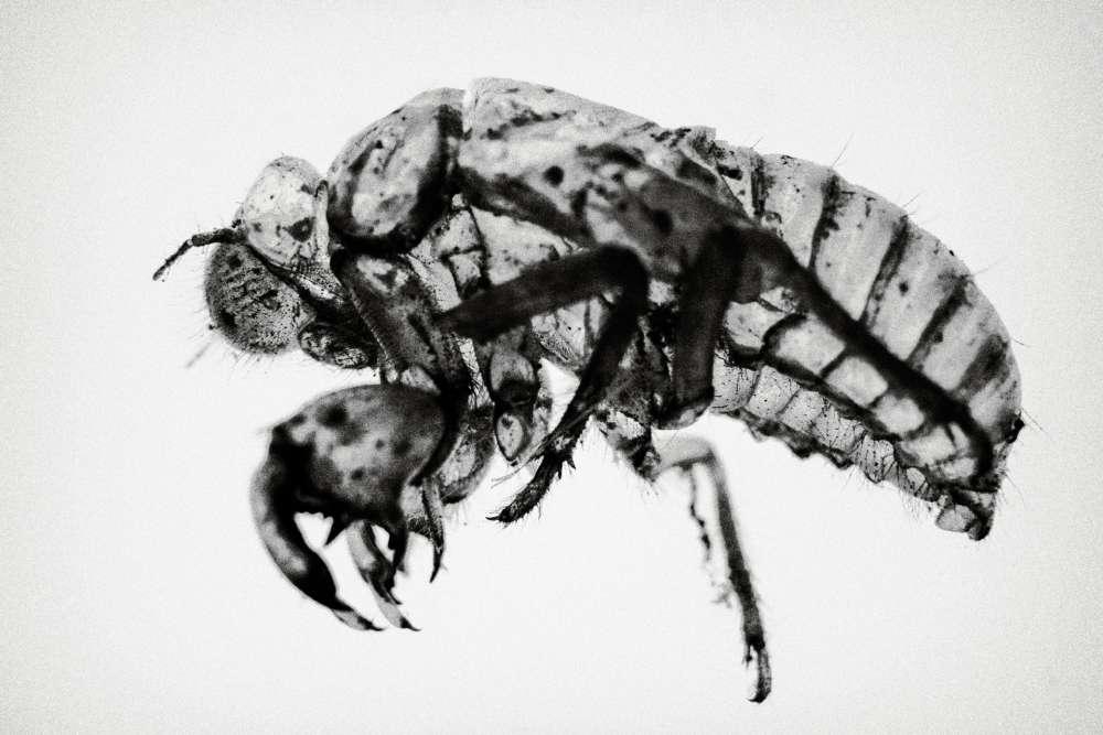 Les vecteurs présumés dela bactérie sont des insectesde la famille des cicadelles.