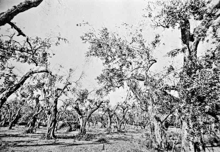 Une plantation d'oliviers, parfois centenaires,ravagée en moins d'un an.
