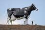 Statue d'une vache holstein à New Salem ( Dakota du nord ) en octobre 2016.