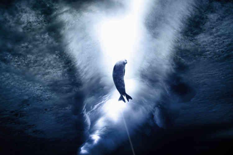 Phoque de Weddell sous la glace.