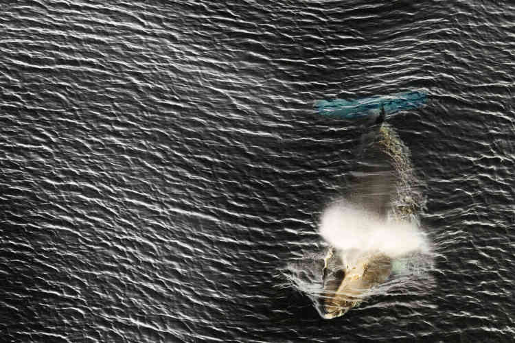 Baleine de Minke.