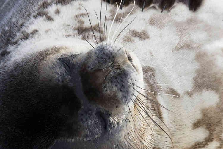 Un phoque de Weddell.